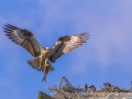 Osprey and nest - Isle of Palms, South Carolina