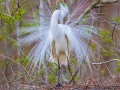 Great Egret, Magnolia Plantation and Gardens - Charleston, South Carolina