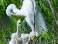 Great Egret and Chicks - Magnolia Plantation and Gardens, Charleston, South Carolina