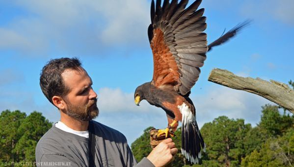~Harris' Hawk, Avian Conservation Center and the Center for Birds of Prey, Awendaw, SC~   ~~~~~