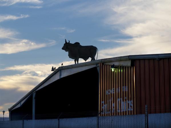 ~Bull Silhouette, Florida~