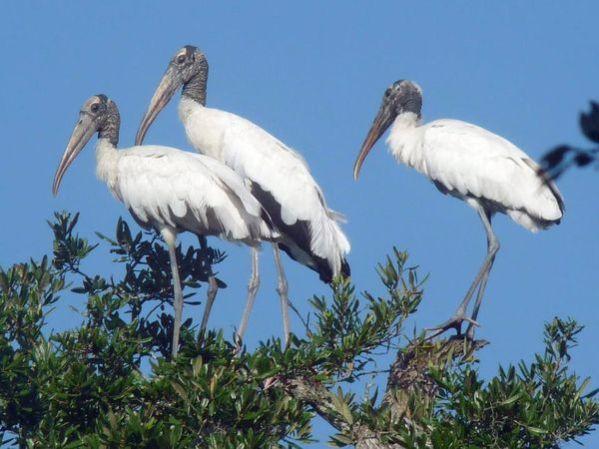 ~Wood Storks at Roxbury Park in Meggett, South Carolina~