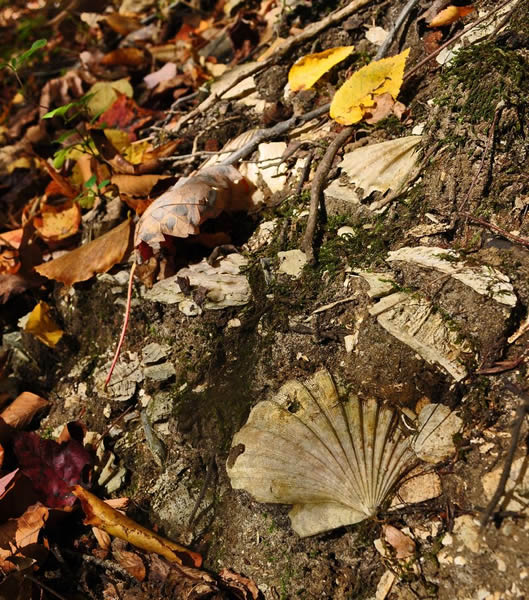 ~The state fossil of Virginia, Chesapecten jeffersonius, photographed at Waller Mill Park~