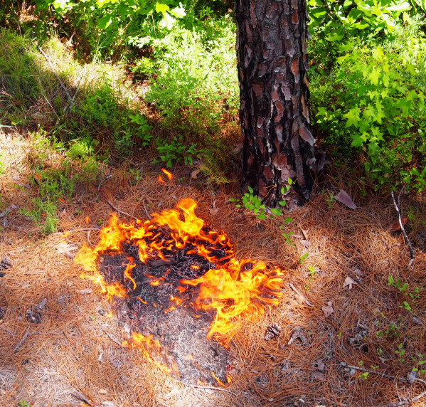 Firespot by a longleaf pine, near the Little Ocmulgee River (Telfair County, GA)