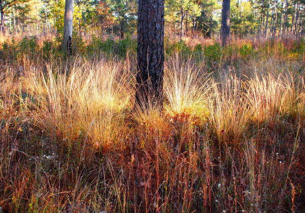 Longleaf pine and wiregrass in the fall (Jasper County, SC)